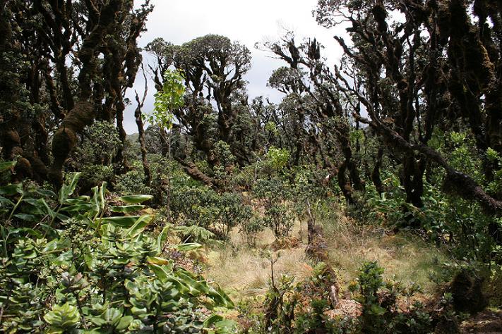 Ohia_trees